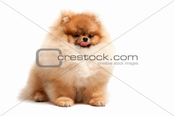 Sitting pomeranian spitz puppy