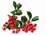 Holly Berry and Leaves
