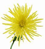 Curly Chrysanthemum