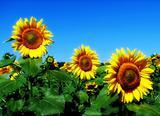 Sunflower in the magic light of the setting sun.