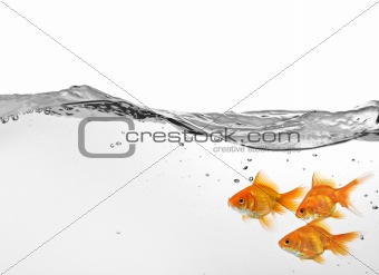 small group of goldfish in water