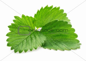 single green strawberry leaf  isolated on white