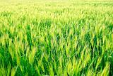 Wheat Grass Field