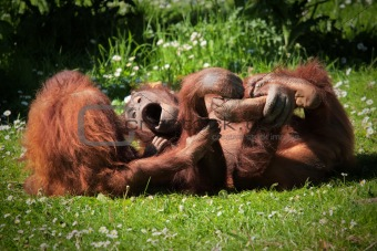 2 Orangutans at play