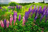 Newfoundland landscape with lupin flowers