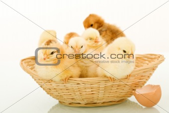 Basket full of fluffy baby chickens