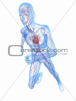 running skeleton - vascular system