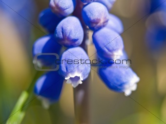 Tiny Blue Bell Flowers macro in sunlight showing details
