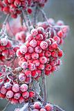 Icy rowan berries