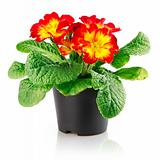 flowerpot with red flower isolated