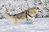 husky jumping