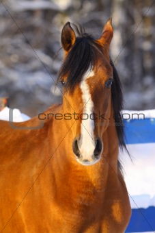 arab stallion in winter