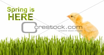 Baby chicken in grass isolated with copy space