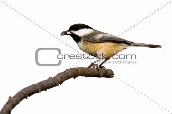 black-capped chickadee eats a sunflower seed