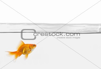 single goldfish in water isolated