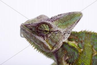 Chameleon isolated over white background