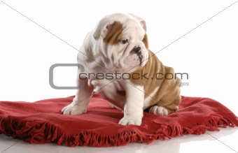 bull dog puppy resting