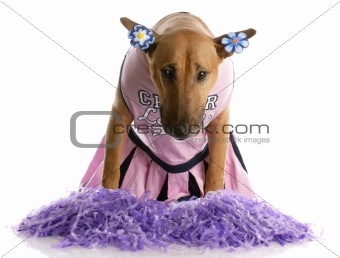bull terrier dressed as a cheerleader