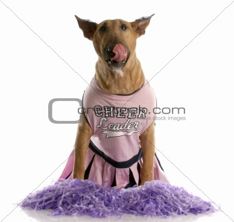 bull terrier dressed as a cheerleader licking lips on white background