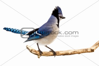 a bluejay surveying the area while standing on a branch