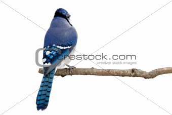 backside view of a bluejay perched on a branch