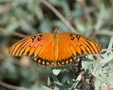 Gulf Fritillary Butterfly