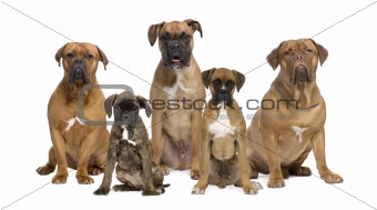 Portrait of boxer dogs sitting in front of white background, stu