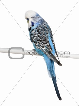 Blue Budgerigar bird perched on pole in front of white backgroun