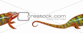 Chameleon, Furcifer Pardalis Ambilobe, 18 months old, against wh