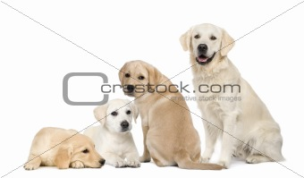 Portrait of Labradors and Golden Retriever sitting in front of w