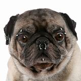 Portrait of pug with nose and face piercings in front of white b