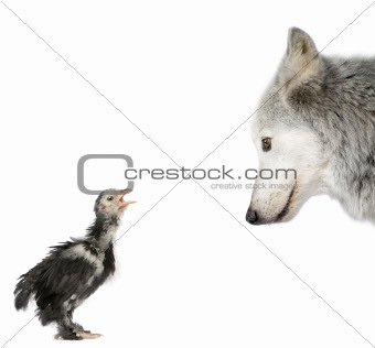 Mackenzie Valley Wolf looking at a chick in front of white backg