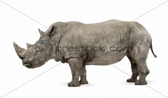 White Rhinoceros or Square-lipped rhinoceros, Ceratotherium simum, 10 years old, in front of a white background