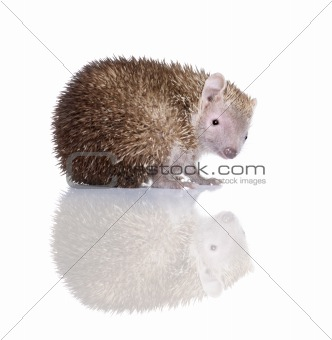 Portrait of Lesser Hedgehog Tenrec, Echinops telfairi, in front