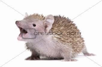 Portrait of Lesser Hedgehog Tenrec with mouth open, Echinops tel