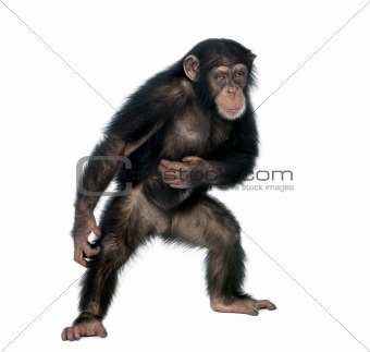 Young chimpanzee, Simia Troglodytes, 5 years old, standing in fr