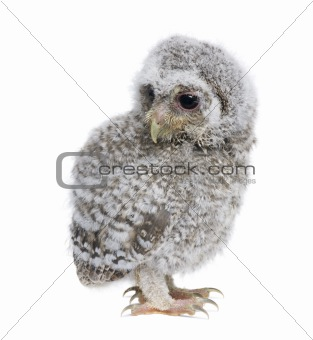 Baby Little Owl, 4 weeks old, Athene noctua, in front of a white
