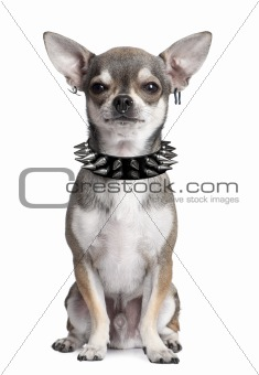 Portrait of Chihuahua with face piercings and spiked collar sitt