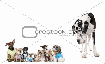Large dog looking at small puppies in front of white background,