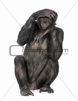 Portrait of chimpanzee with hand on head sitting in front of whi