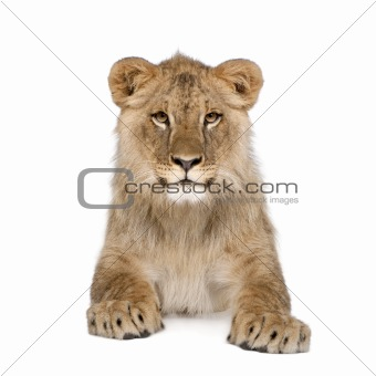 Portrait of lion cub, Panthera leo, 8 months old, sitting in fro
