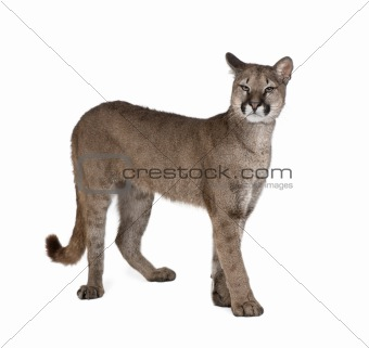 Portrait of Puma cub, Puma concolor, 1 year old, standing in fro