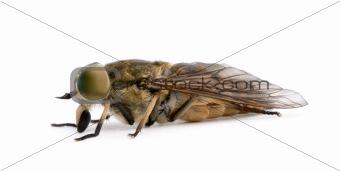 Pale giant horse-fly, Tabanus bovinus, in front of white backgro
