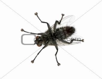Flesh fly in front of white background, studio shot