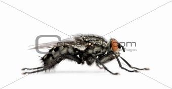 Flesh fly in front of white background, studio shot