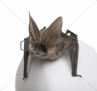 Grey long-eared bat, Plecotus astriacus, in front of white backg