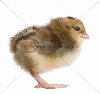 Araucana, also known as a South American Rumpless chick, 2 days old, standing in front of white background