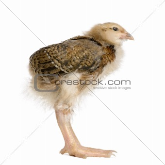 Baby chicken with long legs in front of white background, studio