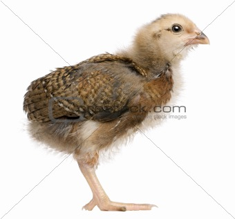 Araucana, also known as a South American Rumpless chick, 19 days old, standing in front of white background