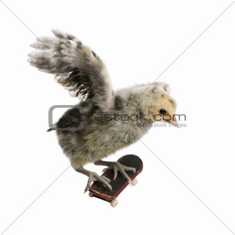 Baby chicken on skateboard in front of white background, studio
